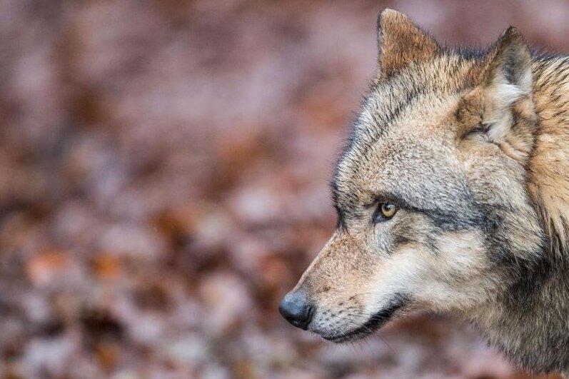 Zum dritten Mal soll in Sachsen ein Wolf erschossen werden