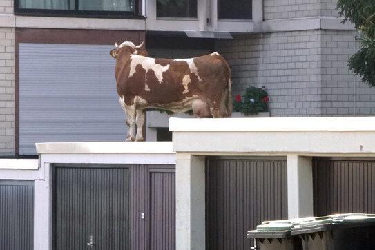 Eine entlaufene Kuh steht auf einem Garagendach. Die Kuh hatte das Dach über einen angrenzenden Garten erreicht.
