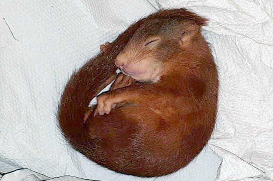 Die Verfolgungsjagd dauerte, bis das Eichhörnchen erschöpft in den Schlaf fiel.