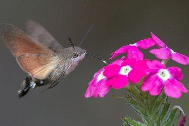 Kein Vogel, sondern ein Schmetterling: Ein Taubenschwänzchen saugt Nektar aus einer Blüte.