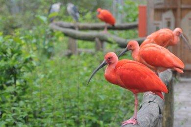 Das Team des Limbach-Oberfrohnaer Tierparks war stolz auf die Roten Sichler, die in der Anlage lebten. Weil aber die Geflügelpest grassierte, musste auch deren Bestand diese Woche getötet werden.