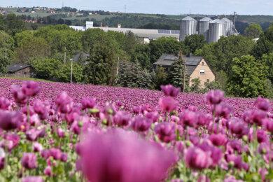 Jahr für Jahr blüht im Juni an der B 180 bei Callenberg der Mohn.