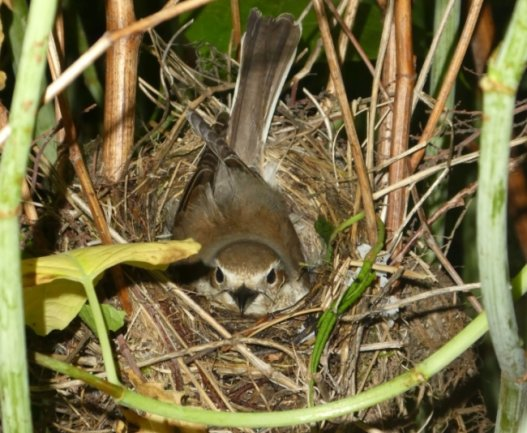 Ein Weibchen des Neuntöters brütet im Staudenknöterich an der Zwickauer Mulde. Diese Vogelart steht auf der Roten Liste.