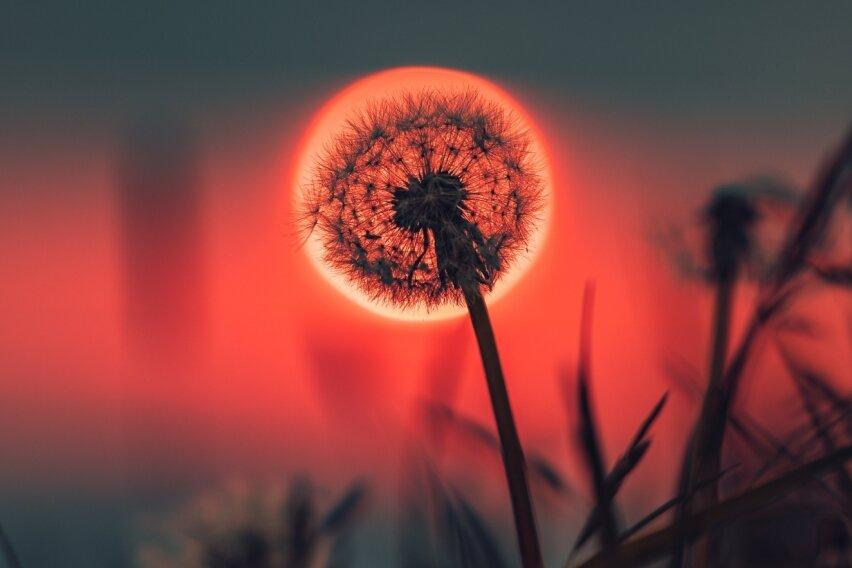 Sonne lässt Pusteblume glühen