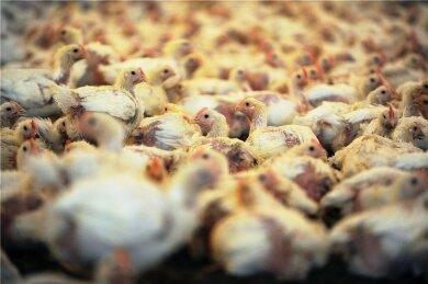 Ursache Massentierhaltung: Tausende Jungtiere in einem Hähnchenstall.