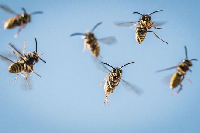 Schwarz-Gelb regiert Sachsen: Wespen haben Hochsaison