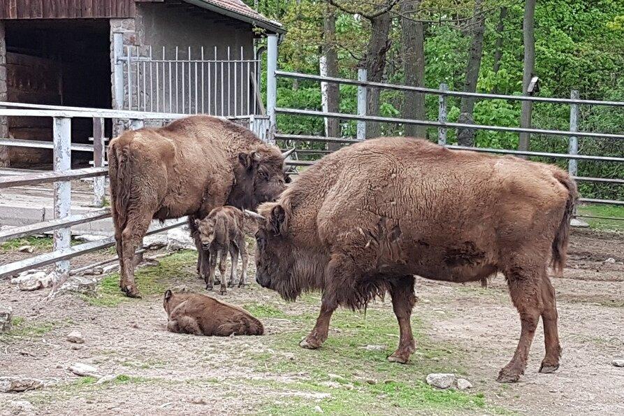 Tierpark Hirschfeld: Nachwuchs bei den Wisenten