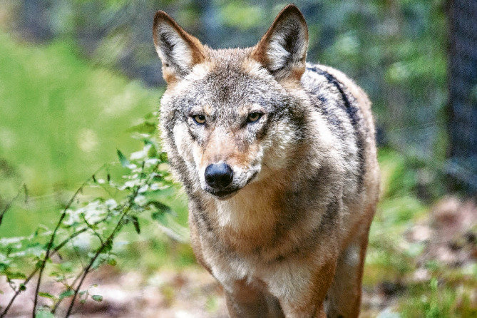 Junge Wölfin erkundet das Wildgatter