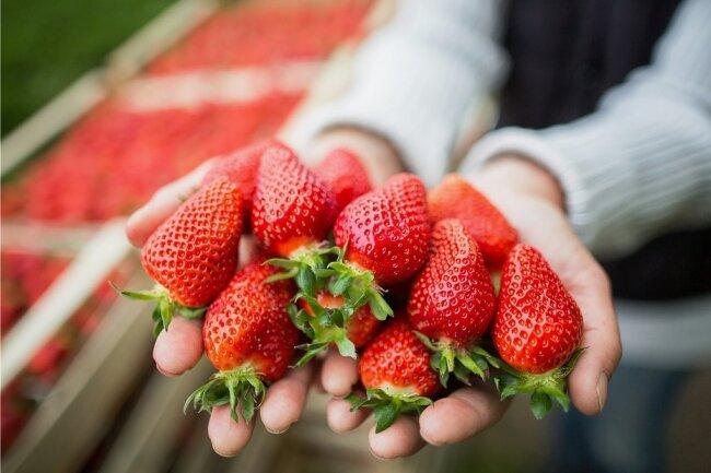 Heimische Erdbeeren gibt es bereits zu kaufen, das Gros stammt aus dem südwestdeutschen Raum, wo die Vegetation weiter ist.
