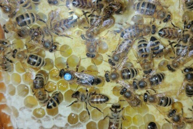 Das Foto zeigt Dunkle Bienen mit Königin (blauer Punkt).