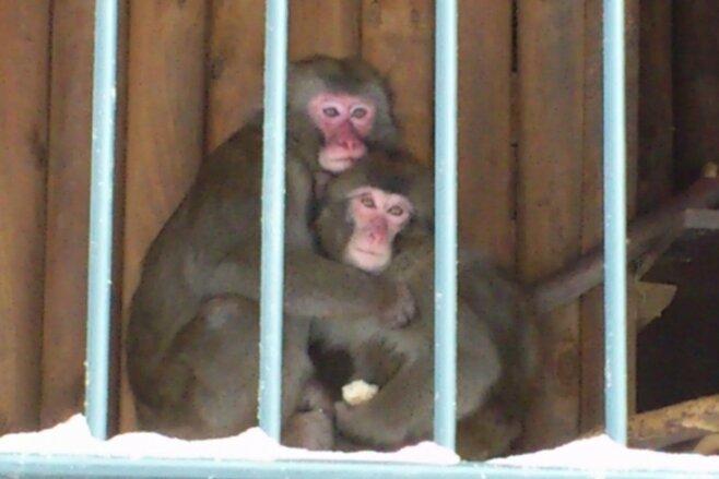 Erna und Momo kuscheln in ihrem Gehege am Pöhlberg ganz eng aneinander. Die beiden Makaken-Affen versuchen so, sich zu wärmen.