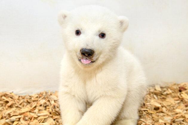 Erstmals haben sich zwei Tierärzte und eine Pflegerin in den Stall von Eisbärenmutter Tonja und ihrem Nachwuchs gewagt, um eine tierärztliche Untersuchung an dem rund zwei Monate alten Jungtier vorzunehmen.