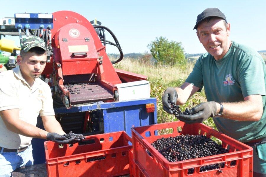 Aronia-Ernte in Dorfchemnitz: Udo Jankowski und Erntehelfer Tjerla aus Rumänien ernten derzeit die Felder von Danny Löschner an der Geleitstraße ab. Wer will, kann zum Selbstpflücken kommen.
