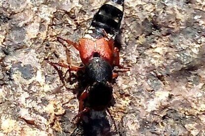 Insekt ohne deutschen Namen: Der Platydracus stercorarius.