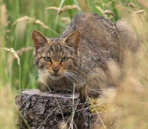 Die Wildkatze fühlt sich im Werdauer Wald wieder wohl.
