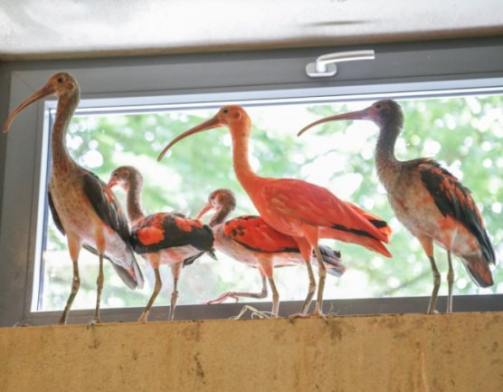 Im Amerika-Tierpark in Limbach-Oberfrohna waren jüngst Rote Sichler eingetroffen. Die Tiere ersetzen ihre wegen der Vogelgrippe getöteten Vorgänger. Der Zoo erhält jetzt eine besondere Zuwendung.