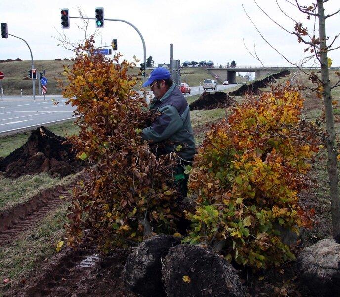 """<p class=""""artikelinhalt"""">Baumpflanzung an der Autobahnauffahrt der A 72 Zwickau Ost. Bernd Sucher von der Firma Landschaftsbau Elbe-Elster bereitet einen Baum zum pflanzen vor.</p>"""