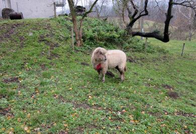 Zwei Schafe sind auf einem Grundstück in Sorgau verletzt worden. Ein weiteres Schaf ist - vermutlich durch einen Wolfsriss - getötet worden.