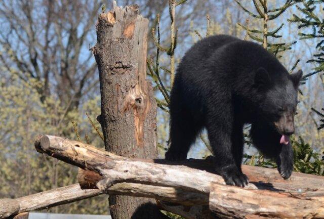Schwarzbär Martin turnt auf dem neuen Klettergerüst umher, während sein Bruder Björn in einer Ecke im Schatten döst. Seit November leben die Bärenbrüder in Falkenstein, gesehen hat sie kaum jemand.