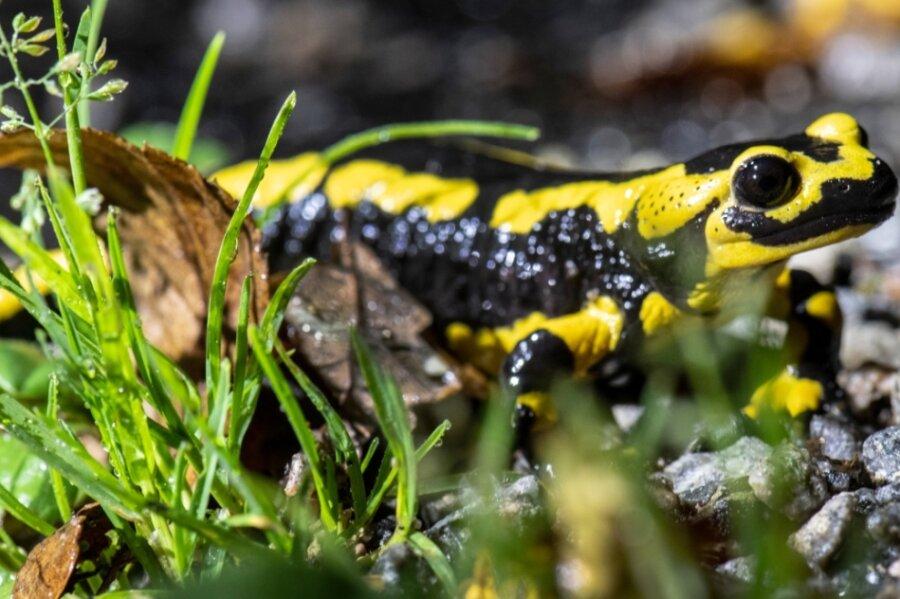 Sie sind durch vielfältige menschengemachte Umwelteinflüsse bedroht: Feuersalamander und andere Amphibien.