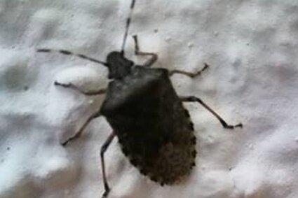 """Bei diesem von einem """"Freie Presse""""-Leser fotografierten Insekt handelt es sich um eine Baumwanze."""