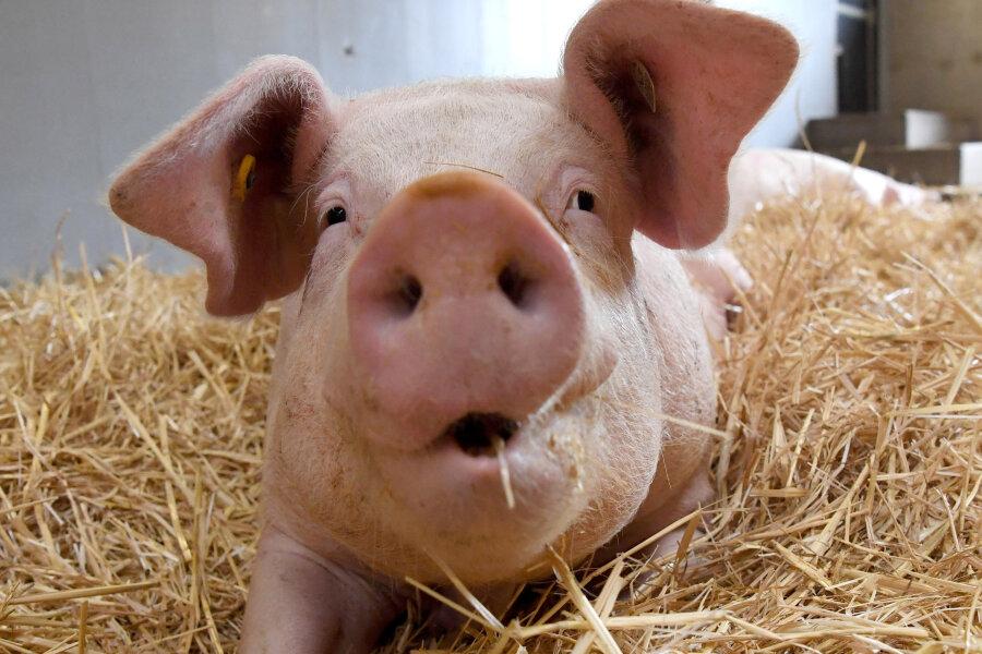 Schweinestall in Königshain-Wiederau: Bürgermeister erwartet kaum Gerüche