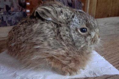 Dieser Hase und noch ein zweites Exemplar wurden von Unbekannten in einer Mülltonne entsorgt. Sie wurden lebend entdeckt. Doch einer musste eingeschläfert werden, das zweite Tier starb später auch.
