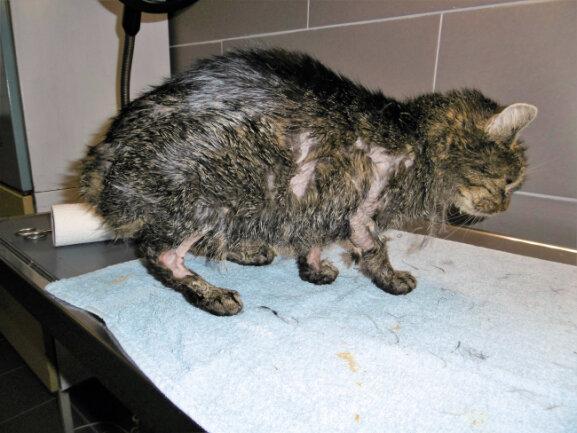 Eine verletzte Katze wird im Tierheim Großliebringen behandelt. Nach dem Fund von mindesten zwei mit Öl verschmierten Katzen im Ilm-Kreis sucht das Veterinäramt weiter nach der Ursache.