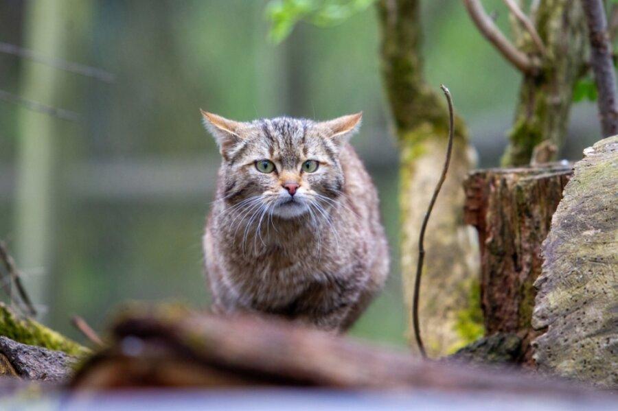 Noch ohne Namen: Eines der beiden Wildkatzenmädchen, die seit drei Wochen im Plauener Umweltzentrum Pfaffengut leben.