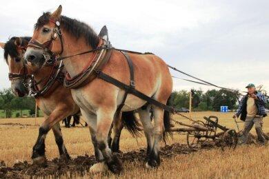 Der 76-jährige Joachim Kampe aus Leubnitz bei Werdau gewann das Pflügen mit Pferden - die hohe Schule des Pflügens. Es ist viel schwieriger, als mit dem Traktor zu arbeiten.