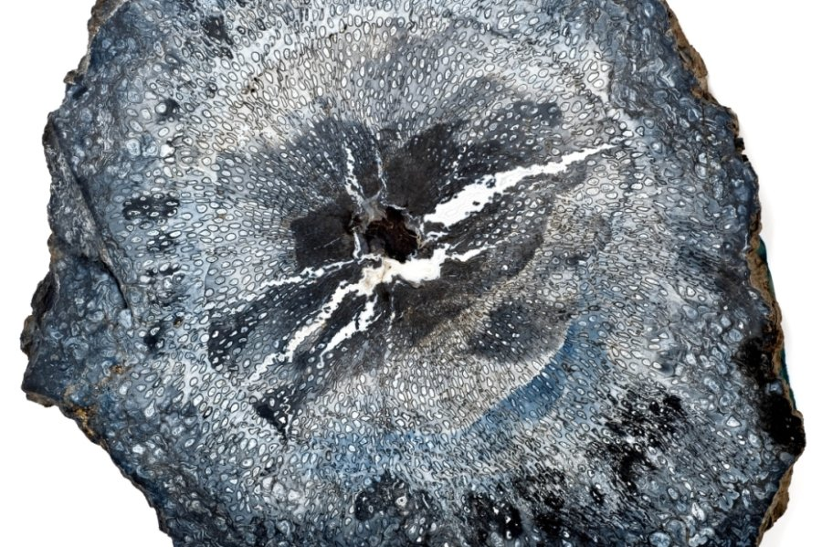 Polierte Scheibe eines fossilen Baumfarnstammes aus Manebach.