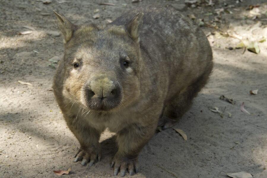 Ein Wombat im Currumbin Wildpark an der Gold Coast. Auf der australischen Insel Maria Island sollen Wombats künftig von Handy-Aufnahmen durch Touristen verschont bleiben. Bei der Ankunft mit der Fähre werden Besucher seit kurzem mit Schildern darum gebeten, auf Selfies mit den possierlichen Beutelsäugern zu verzichten.