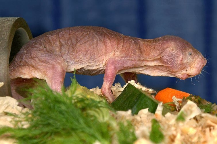 Der Nacktmull, ein mausgroßer Nager, inspiziert im Dresdner Zoo seine Futtervorräte.