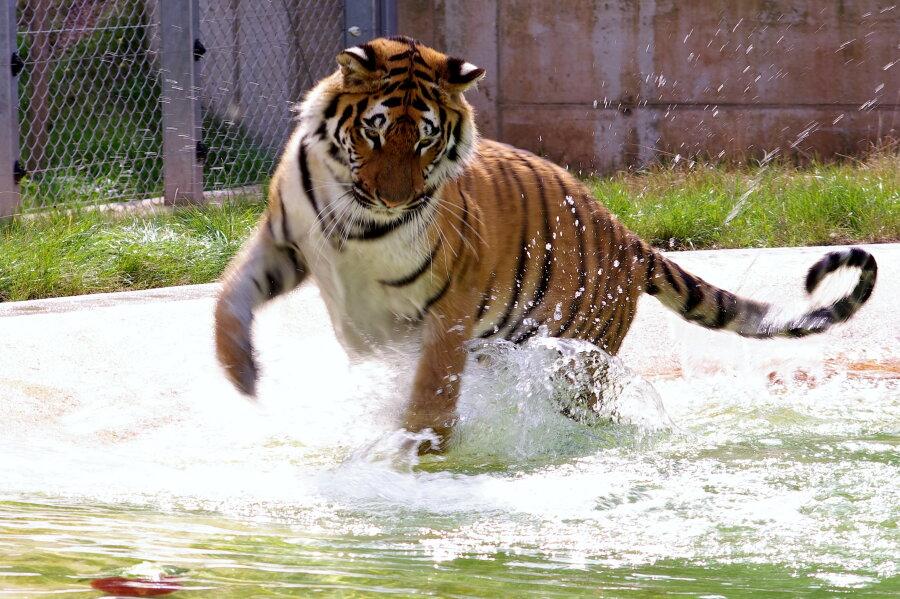 Ein Tiger mit Goldzahn