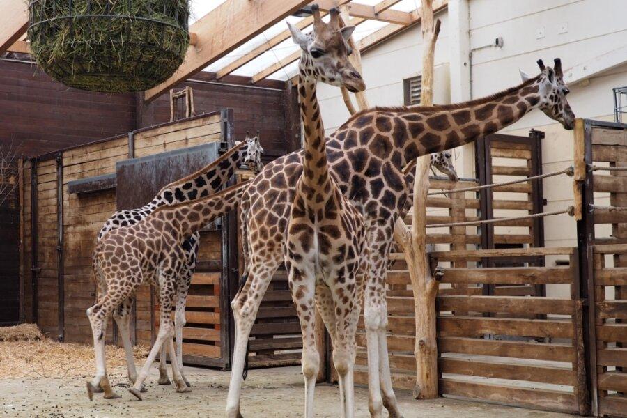 Neue Giraffen leben sich im Zoo ein