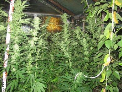 22 Cannabispflanzen stellte die Polizei in einer Gartensparte sicher