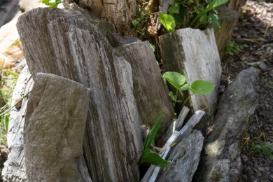 Gefunden wurden die versteinerten Baumstämme 1952 und in den Folgejahren im Rüsdorfer Wald.