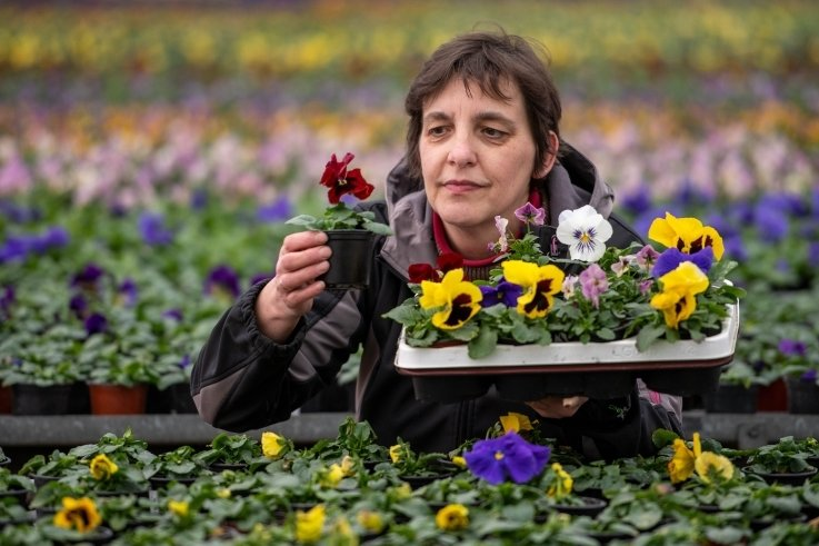 Martina Liebchen hegt die Stiefmütterchen. Liebchen's Gärtnerei in Crossen musste im Frühjahr 2020 etliche Pflanzen wegwerfen. Die Gärtnerei hofft, dass diesmal viele im hauseigenen Hofladen verkauft werden.