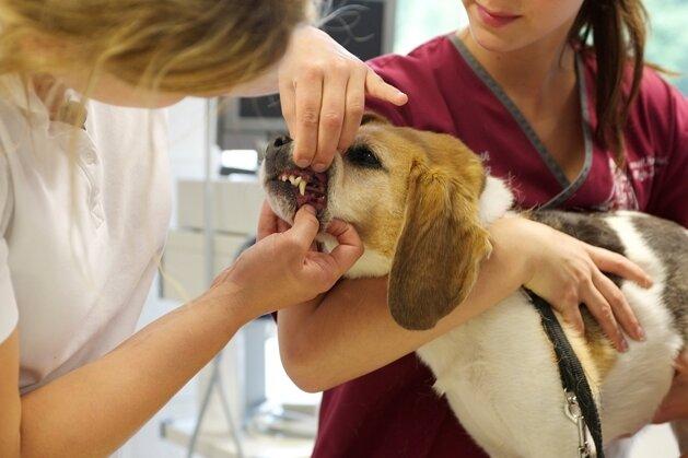 Kopf in die Armbeuge legen und den Körper sanft randrücken: So können Hunde am besten vom Tierarzt untersucht werden.