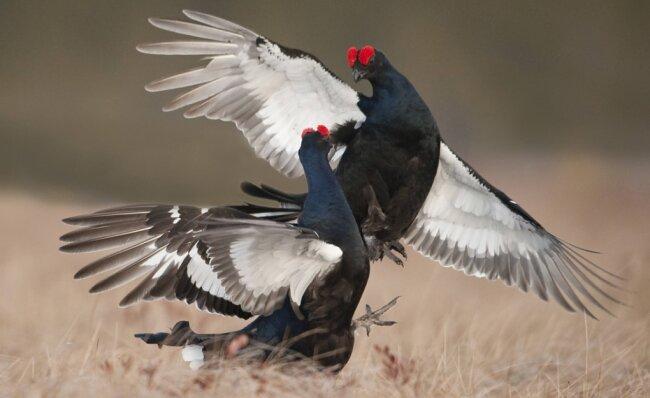 Für das Werben um die Hennen und den damit verbundenen Kampf mit Konkurrenten brauchen die Birkhähne offene Flächen. Das Foto entstand nicht im Erzgebirge.
