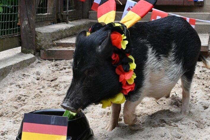 Minischwein Rudi tippte vergangene Woche auf einen Sieg für Deutschland - und lag falsch.