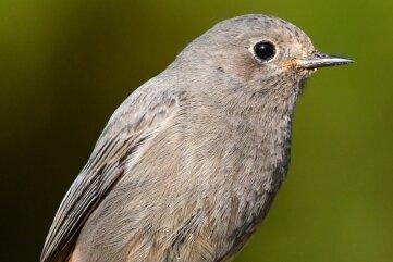 Ein Hausrotschwanz-Weibchen. Die Vögel brüten gerne in menschlichen Siedlungen.
