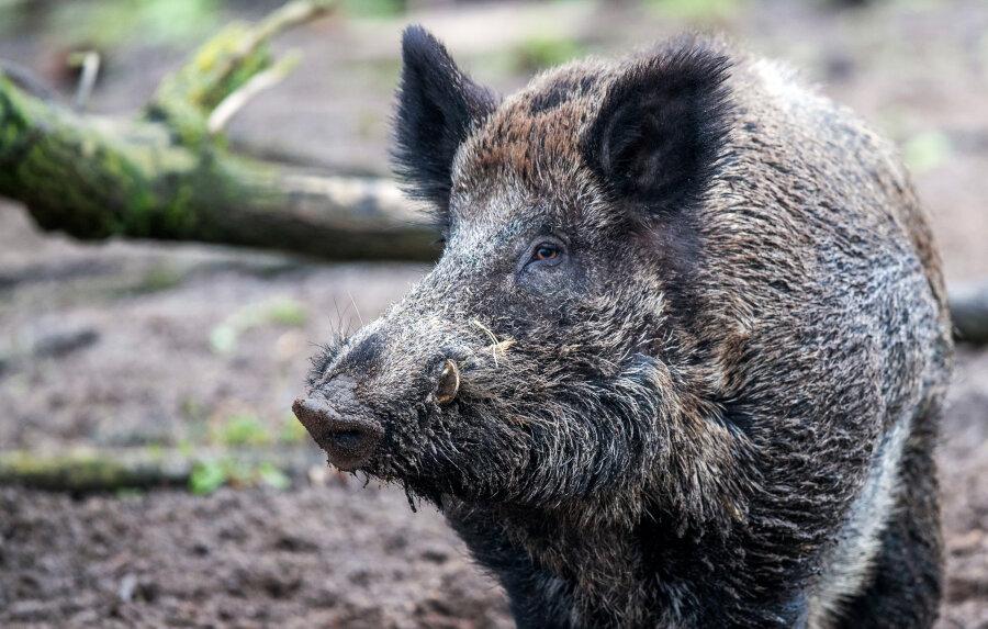 Das Schwein starban der Unfallstelle, Personen wurden nicht verletzt.