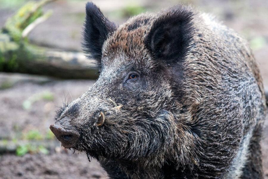 Staatsbäder in Bad Elster wollen Wildschweine mit Böllern vertreiben