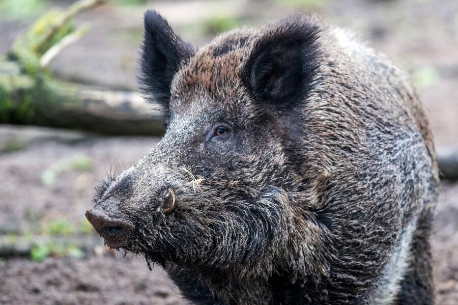 Bad Elster: Jäger lehnen Schießen von Wildschweinen in Parks ab