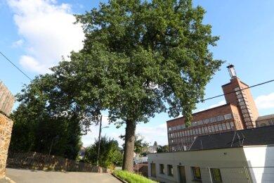 Die Luthereiche in Oberlungwitz wurde nach Angaben der Stadt 1883 gepflanzt.