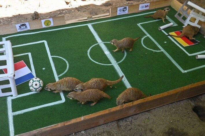 Chemnitzer Erdmännchen orakeln vor Deutschland-Spiel