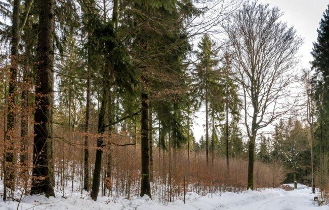 Im Hirschberger Forstrevier setzt Thomas Baader auf natürliche Verjüngung des Baumbestandes: Im Schutz der alten Bäume wachsen junge Bäume heran.