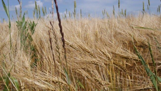 Die Braugerste gedeiht auf vogtländischen Feldern in der Regel gut. Doch der Absatz ist ins Stocken geraten. Grund ist der Rückgang der Bierproduktion.