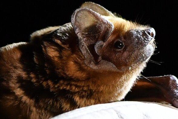 In Mittelsachsen sind 18 verschiedene Fledermausarten nachgewiesen. Für einige trägt der Landkreis besondere Verantwortung.